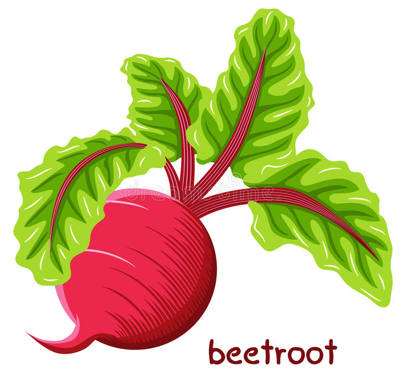 Drawn beetroot. Vector illustration of a drawn beetroot stock illustration