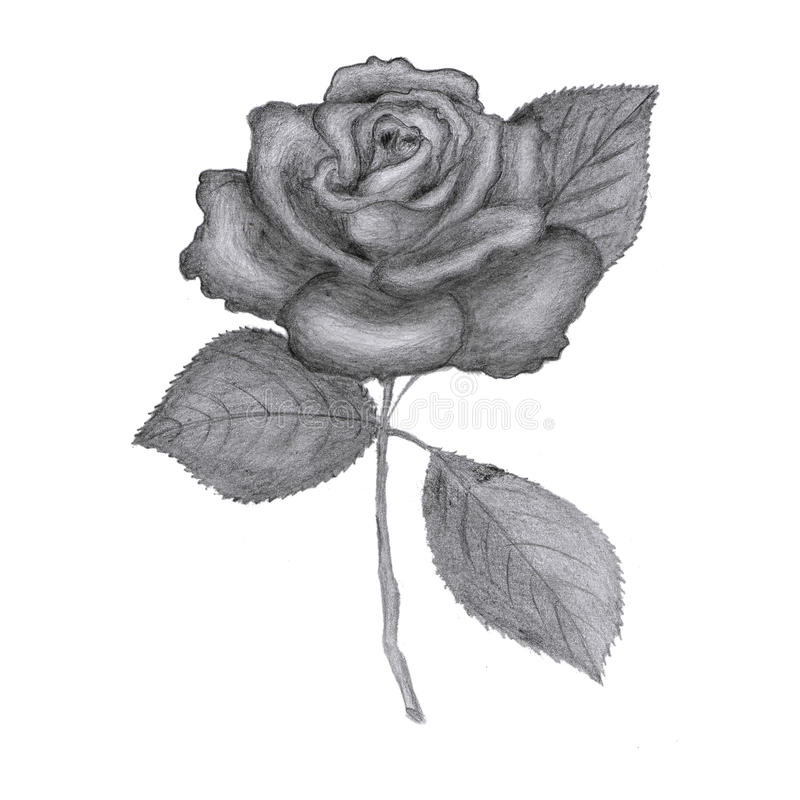 Drawn Rose Stock Photos - Image: 23618773