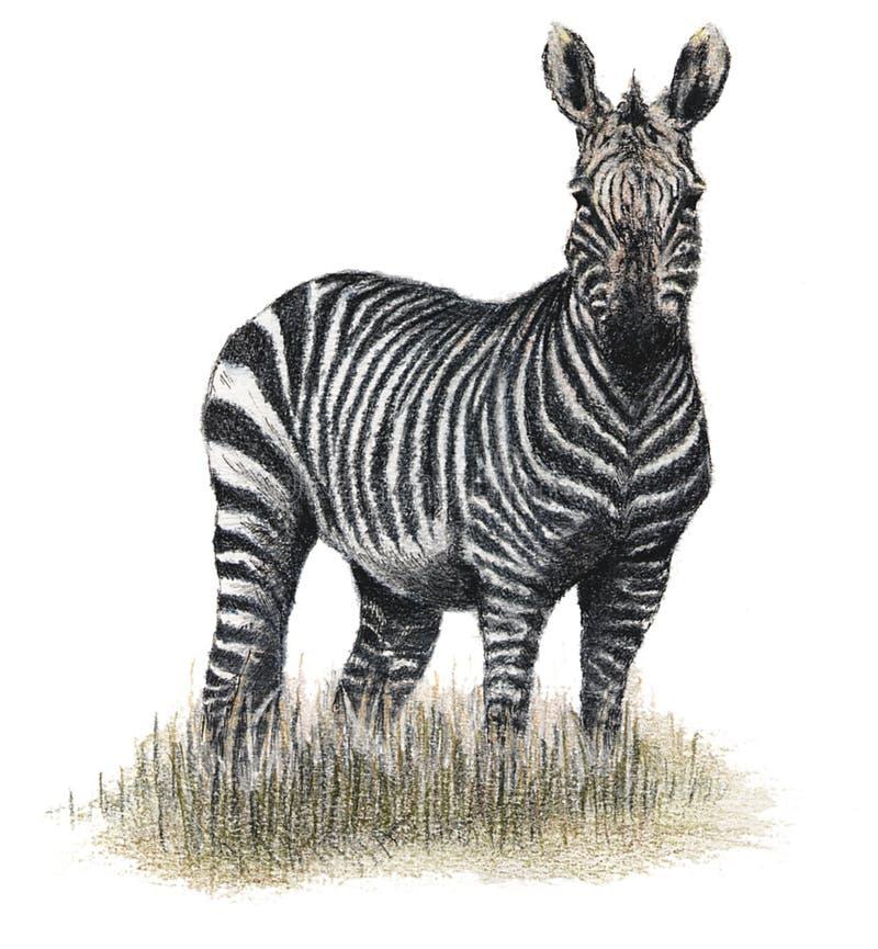 Drawn zebra royalty free illustration