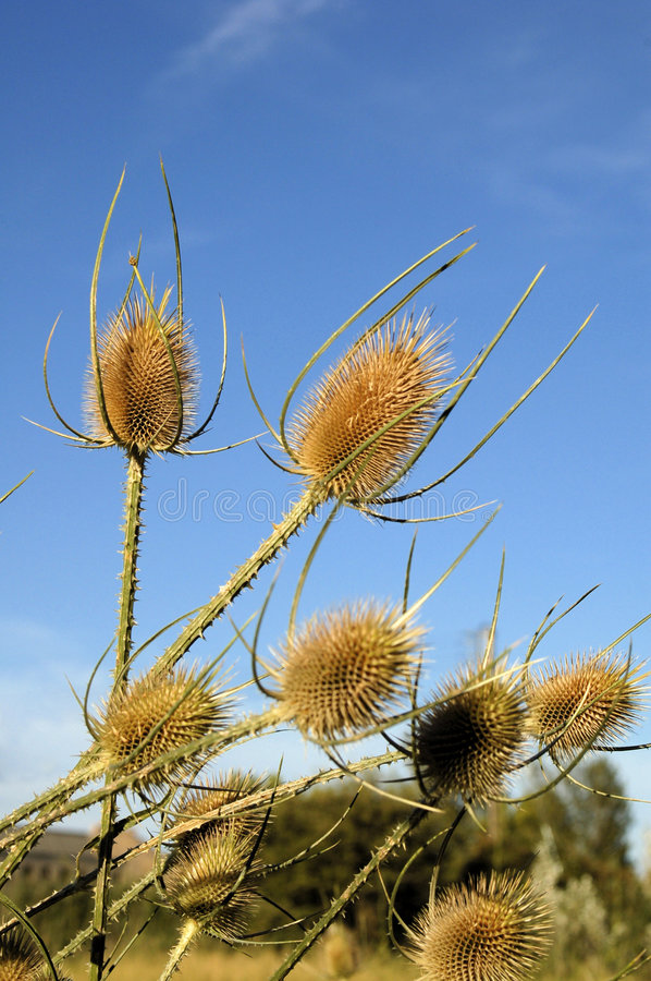 Free Dread Thistles Stock Photos - 1132703