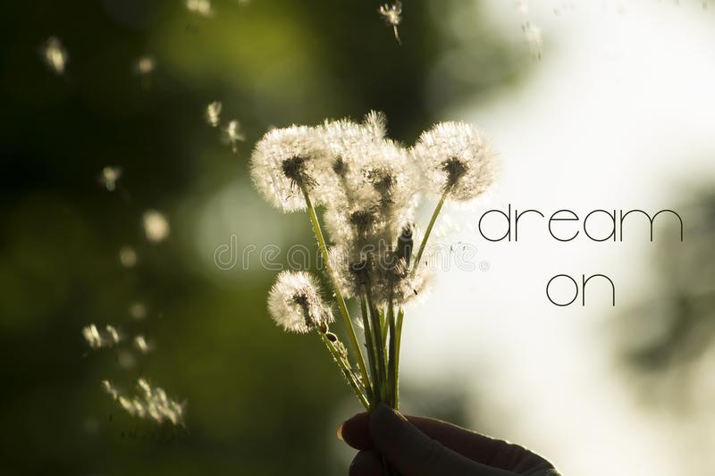 Dream on concept. Dandelions on blurred background in the sunlight. With flying parachutes. Spring flowers abstract background stock image