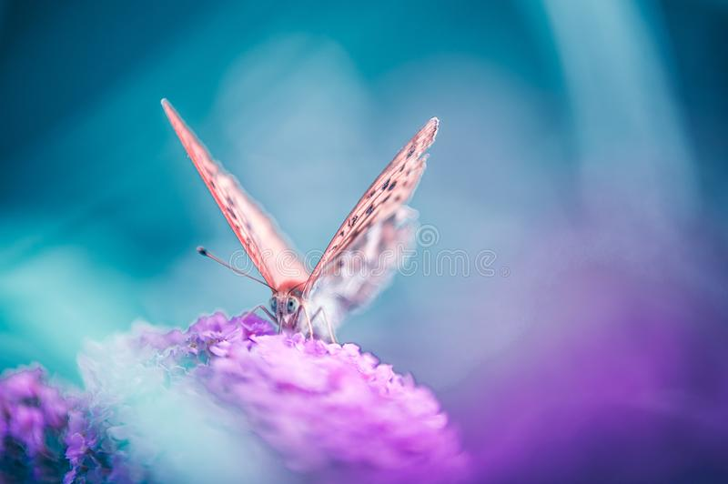 Cardinal insect butterfly foraging a violet flower on blue background stock photos