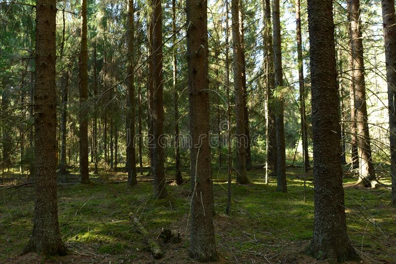 Dreamlike beauty nature of forest rows of trunks of spruce   trees in the morning sun royalty free stock images