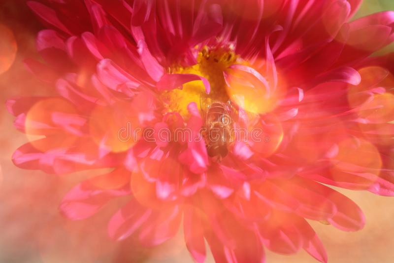 Dreamlike bee on pink flower. With yellow light spheres in sunny day in summer, beautiful macroshot flower stock photo
