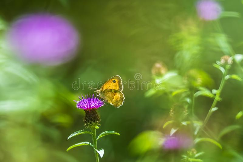 Dreamlike butterfly. The gatekeeper butterfly, Pyronia tithonus, feeding. Dreamlike setting with small focus depth royalty free stock images