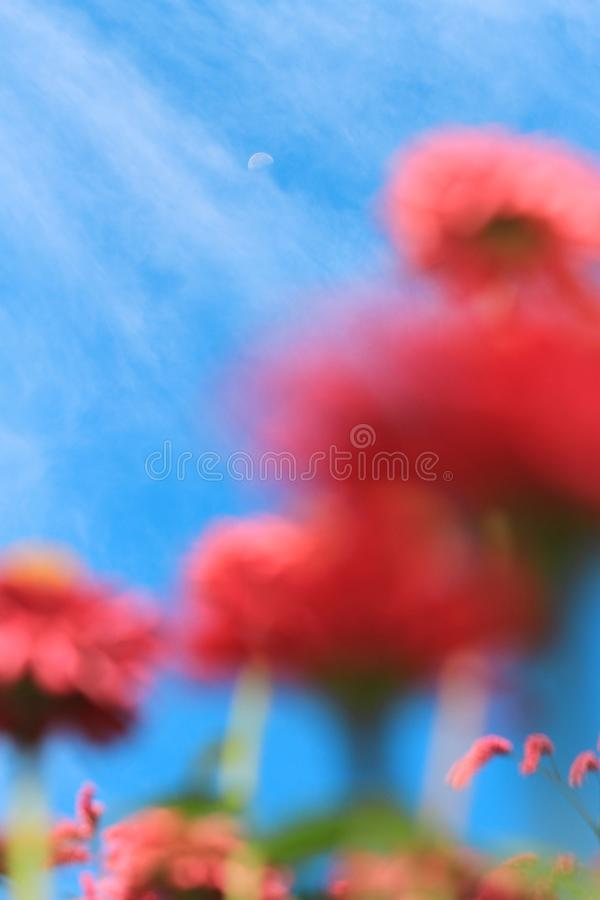 Dreamlike moon in blue sky. In the morning in summer on pink foreground stock images