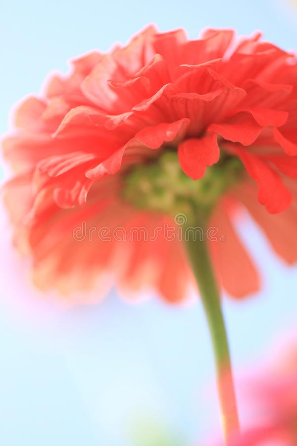Dreamlike pink flower. In sunny day in summer under blue sky against the light stock images