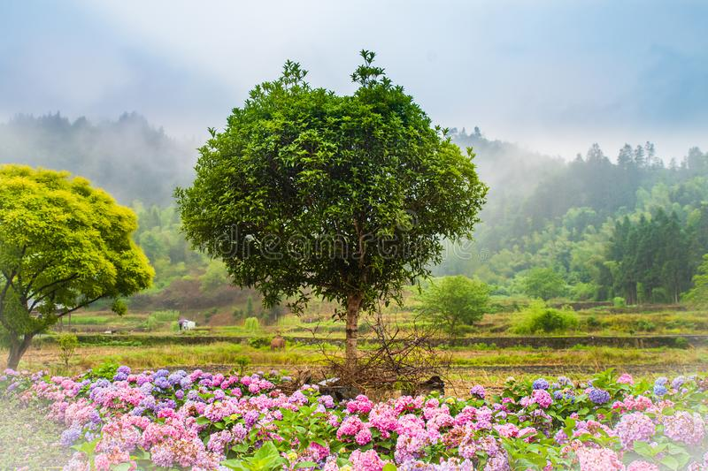 Dreamlike village in spring. Rural scenery , dreamlike forest with flowers overspread the land in spring , XiDi village , Anhui province , China royalty free stock photos