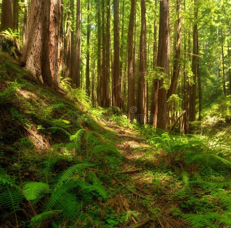 Dreamy California Redwoods stock photography