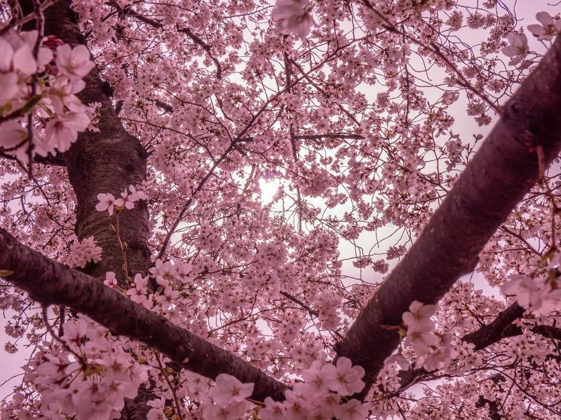 Dreamy Cherry Blossoms royalty free stock photos