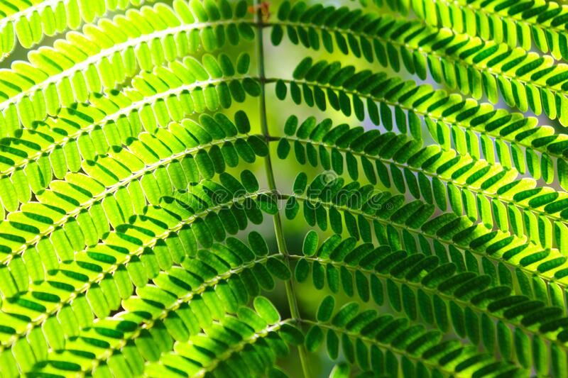 Dreamy and dappled sunlit background of light to dark forest green spring leaves captured in the early light of Spring. These are fern leaves that are backlit royalty free stock photos