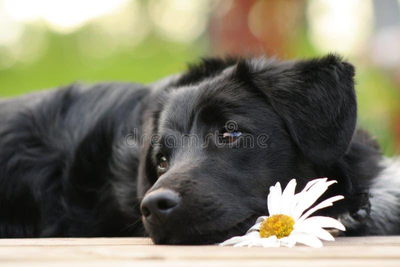 Dreamy dog with daisy stock photos