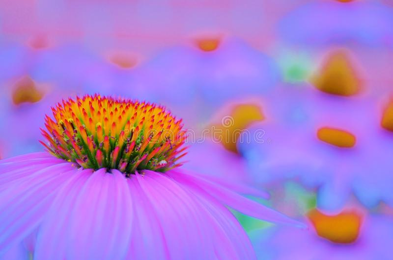 Dreamy field with Cone flowers. stock photo
