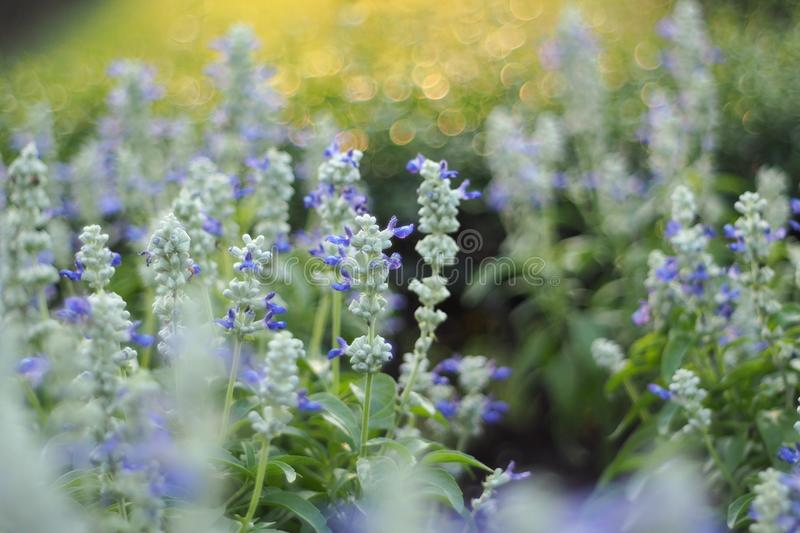 Dreamy group of Blue Sulvia, Violet flower. Dreamy group of Blue Sulvia, Violet flower with soft focus and yellow light bokeh stock photo