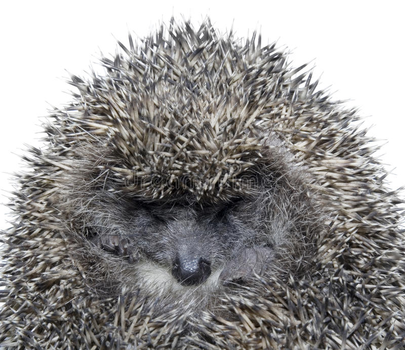 Dreamy Hedgehog. Close up of sleepy hedgehog isolated on white background royalty free stock photography