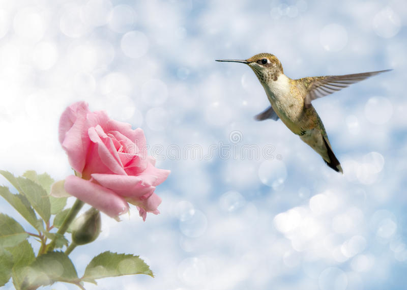 Dreamy image of a Hummingbird hovering. Close to a Rose stock images