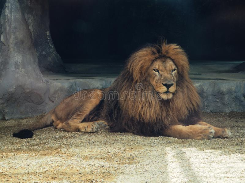 The dreamy look of an lion in zoo.The King of beasts, biggest cat of the world. The most dangerous and mighty predator royalty free stock photos