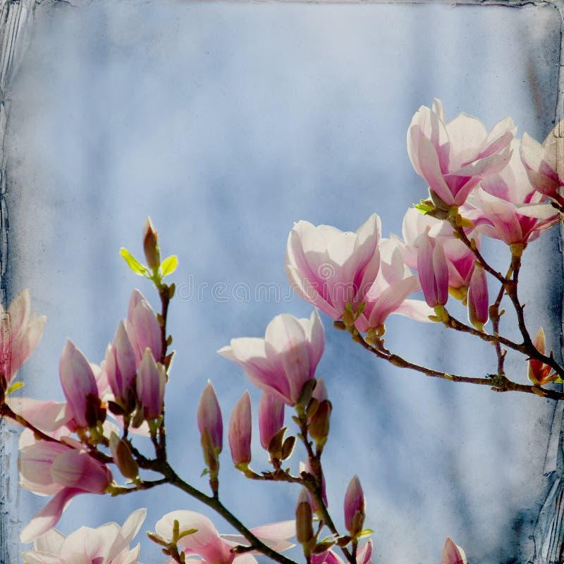 Download Dreamy magnolia background stock photo. Image of honey - 39500536