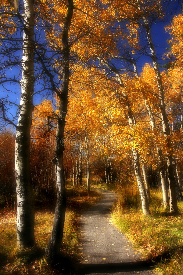 Dreamy Path Through Aspen Royalty Free Stock Image