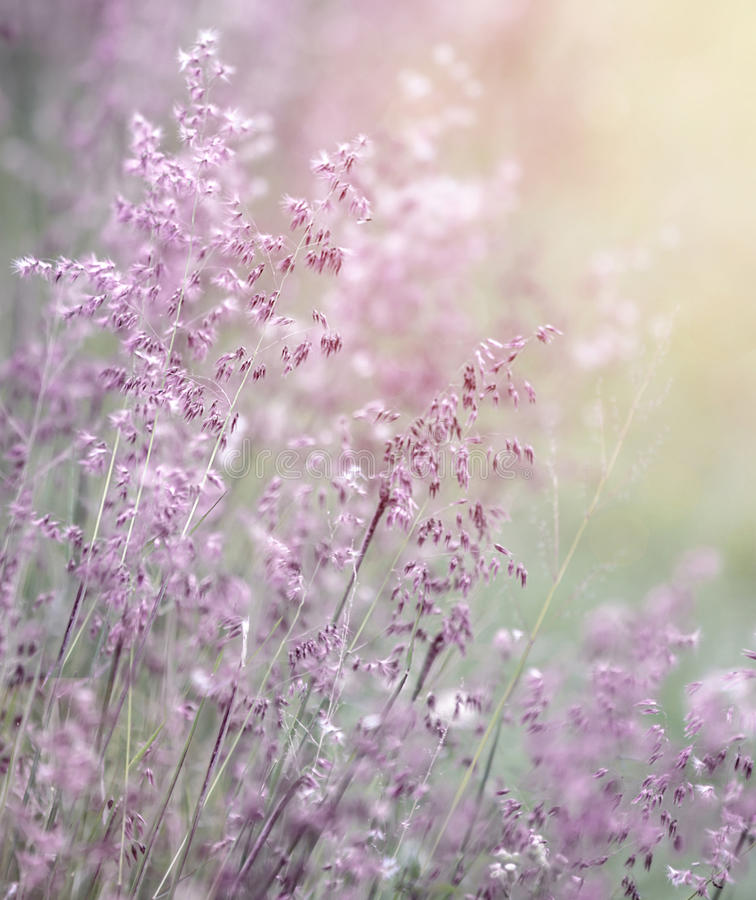 Dreamy pink flowers field. Beautiful fresh purple flowers field, abstract dreamy floral background, sun light, soft focus, spring season royalty free stock images