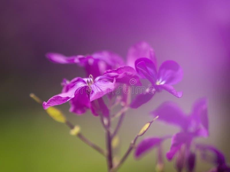 Dreamy purple honesty flowers, Lunaria annua, defocussed blurry romantic effect. Nature in spring abstract background. Dreamy purple honesty flowers, Lunaria stock image