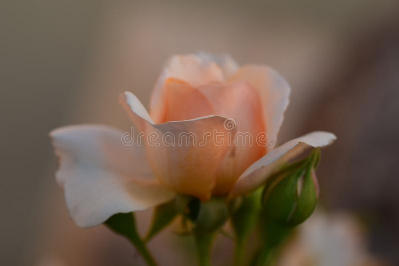 Dreamy roses are loved to be love royalty free stock photos