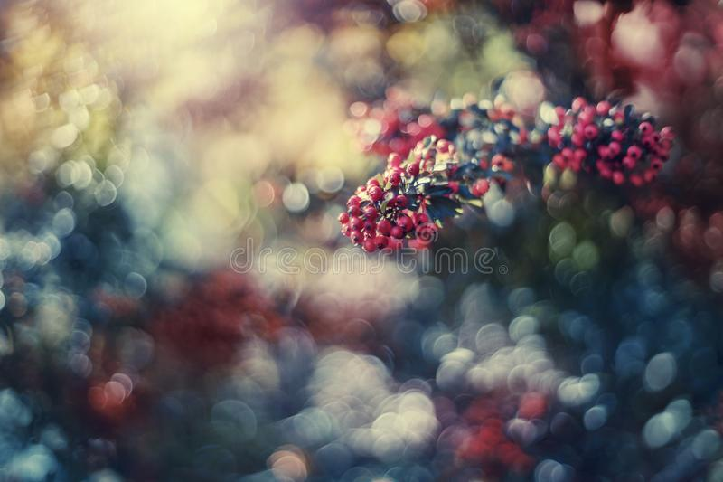 Dreamy sea buckthorn. Detail of sea buckthorn with colorful bokeh royalty free stock photos