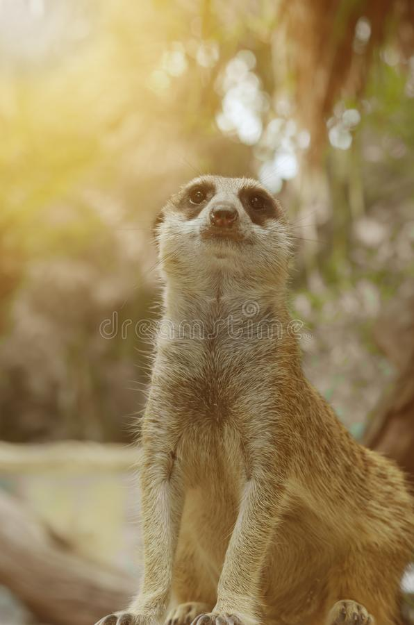 Dreamy soft light portrait photography of Meerkat. In nature royalty free stock photos