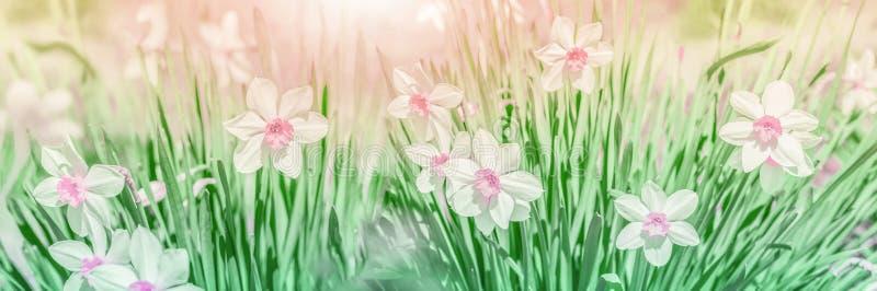 Dreamy Spring narciso floresce, close-up contra panorama da luz do sol Modelo de cartão de saudação floral primavera Delicado fotos de stock royalty free