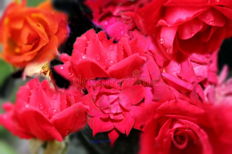 A collage of rose flowers stock photo