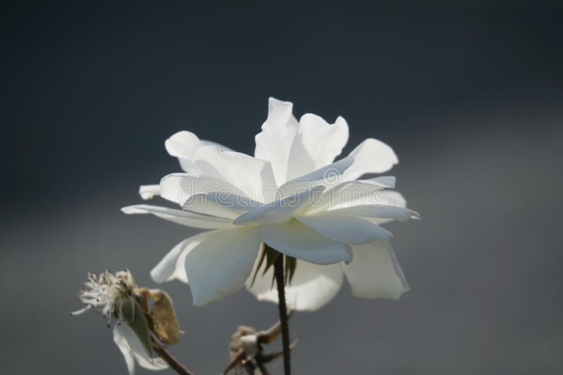 Dreamy White Flower In Spring Abstract. Background, Print ...