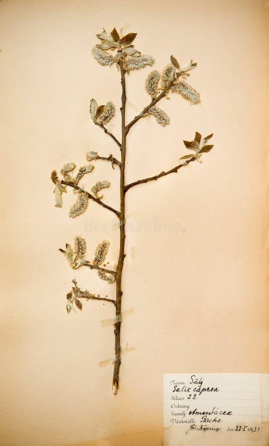 Dreißigerjahre gepresste Blume stockfotografie