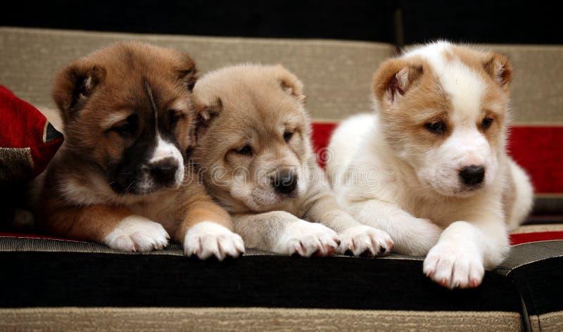 drei alabai welpe der auf dem sofa sitzt stockfoto bild von hunde schauen 22723234. Black Bedroom Furniture Sets. Home Design Ideas