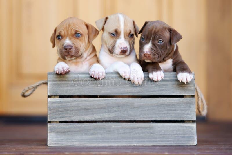 Drei amerikanische Pitbullterrierwelpen in einer Holzkiste stockfoto