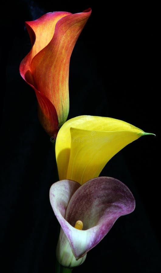 Drei aruim lilys auf Schwarzem lizenzfreies stockfoto