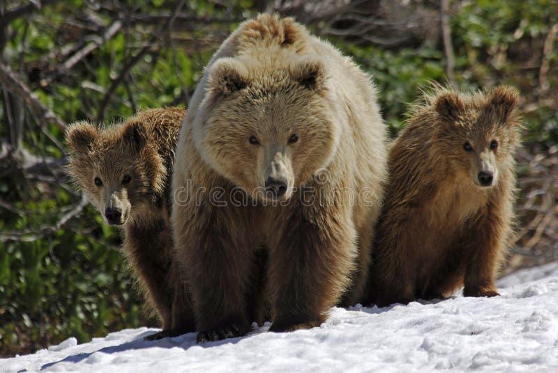 Drei Bären lizenzfreies stockbild