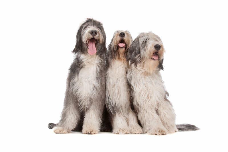 Drei bärtige Colliehunde lizenzfreie stockfotografie