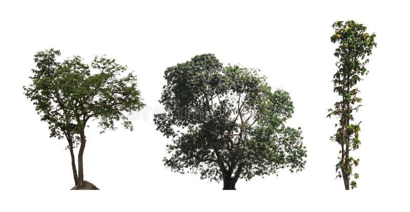 Drei Baum dicut auf weißer Hintergrundspeicherung in der Jpgdatei, die p befestigt stockfotos