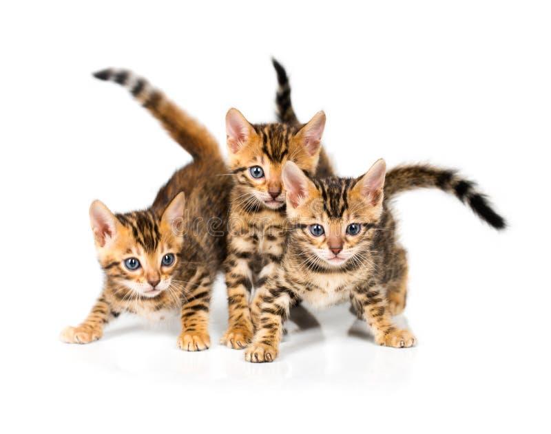 Drei Bengal Kätzchen auf weißem Hintergrund lizenzfreie stockfotos