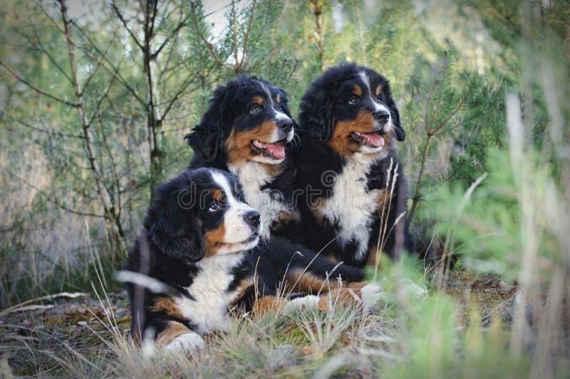Drei Bernese Gebirgshundewelpen stockfotografie