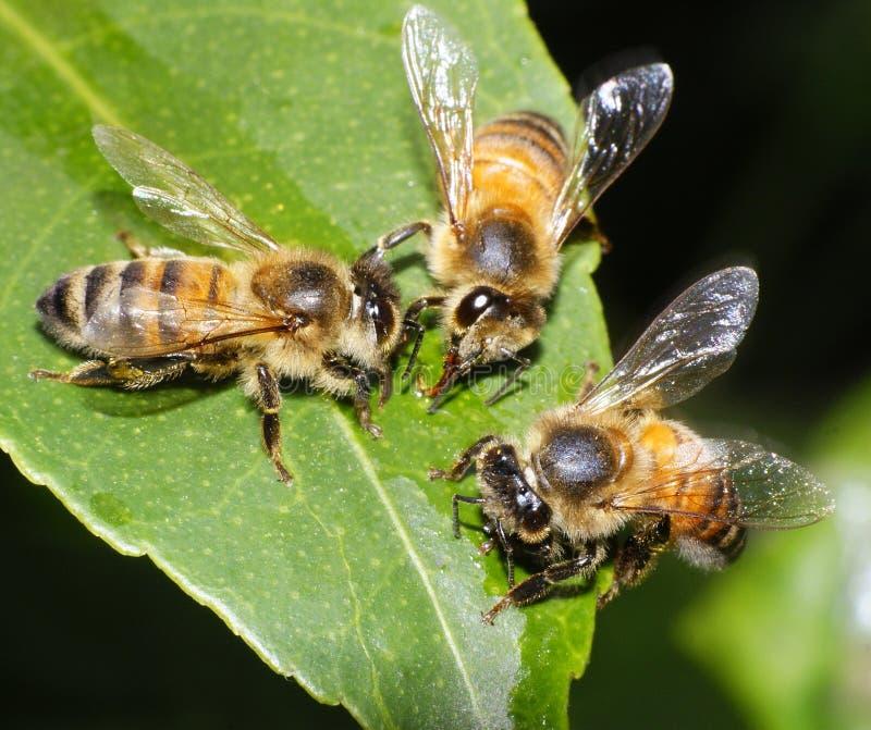 Drei Bienen, die speisen und zusammenarbeiten lizenzfreies stockbild