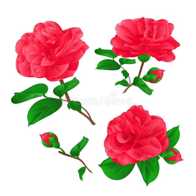 Drei Blumen Camellia Japonica mit Vektor des Knospenweinlesehandabgehobenen betrages vektor abbildung