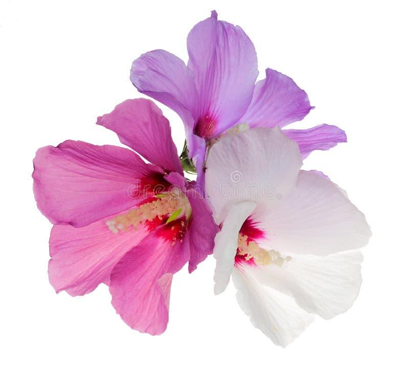 Drei Blumen getrennt auf Weiß lizenzfreie stockfotos