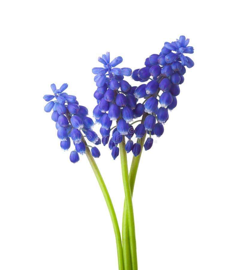 Drei Blumen Trauben-Hyazinthe Lokalisiert Auf Weißem Hintergrund ...