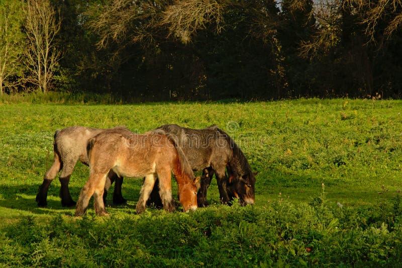 Drei braune Brabantian-grazinfhorses in der Natur stockbilder