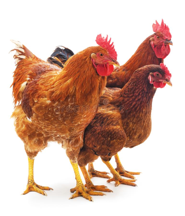 Drei braune Hühner lizenzfreie stockbilder