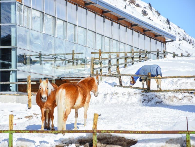 Drei braunes Pferdesäugetiertier im Gebirgswinterschnee stockfoto