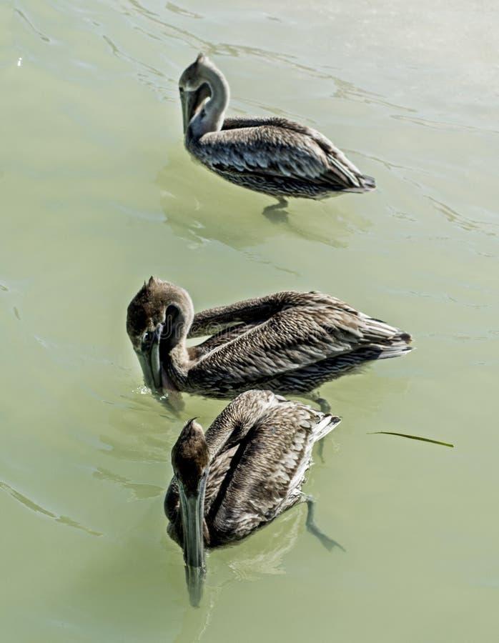 Drei Brown-Pelikane, die im klaren Wasser schwimmen lizenzfreie stockfotografie
