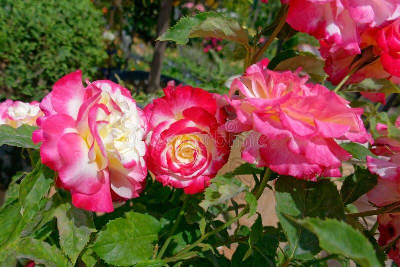 Drei bunte rosafarbene Blumen im Garten stockfotografie