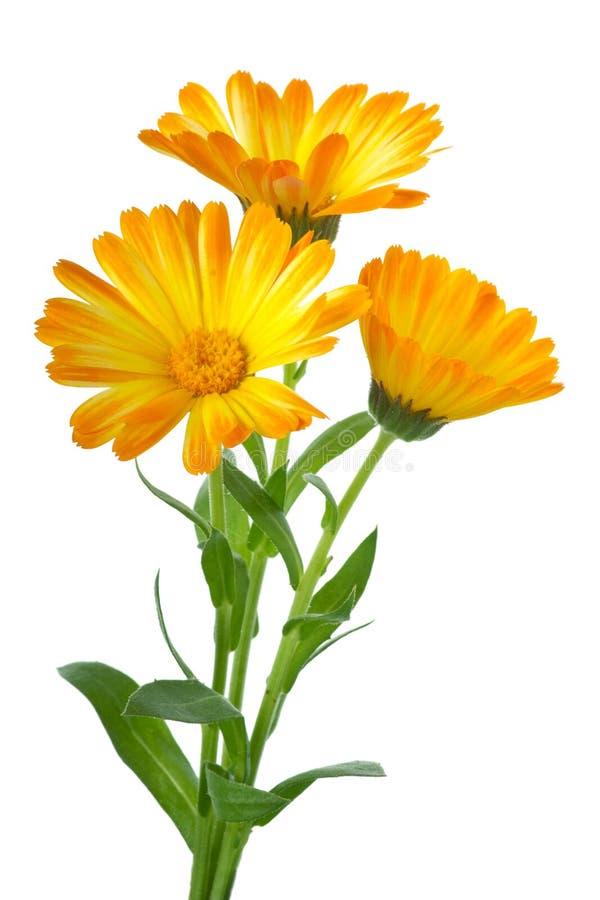 Drei Calendulablumen lizenzfreie stockbilder
